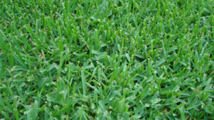 palmetto st augustine sod grass installed prices