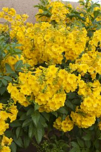 summer annuals gold star esperanza