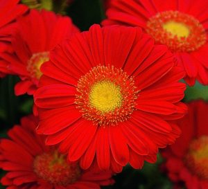 annual texas gerbera